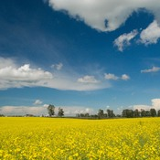 Canola and Cumulus Clouds