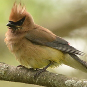 Fluffed Up Waxwing