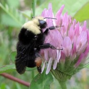 Getting a Buzz from Clover