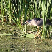 Night heron fishing in a pond at sunset