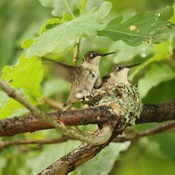 Humming Birds Ready Preparing to Leave the Nest