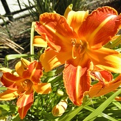 Bicolour Day Lilly