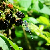 Dragonflies like Blackberries!