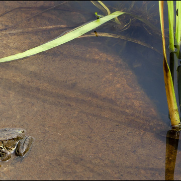Small frog, Elliot Lake.