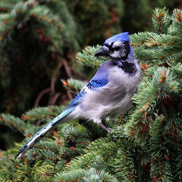 young bluejay