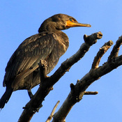 Brownish Juvenile Double-crested Cormorant