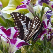 Swallowtail on petunias