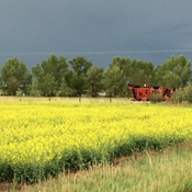 Storm Approaching Canola Field