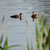 Grebes & chicks