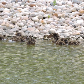 Ducks, duckling & American Coot chicks