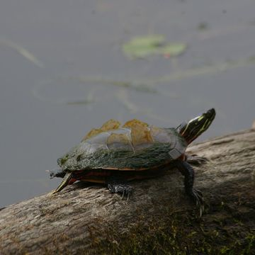 Shedding Turtle