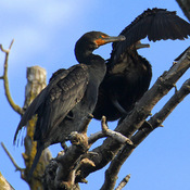 Double-crested Cormorants in the early morning sun.