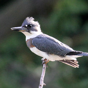 Female Belted KIngfisher out to fish.