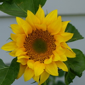 Sunflower spiral bloom.