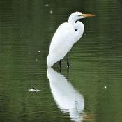Great Egret, New Hamburg, Ontario