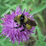 Bees Love Knapweed