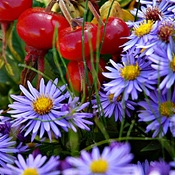 Asters and Rose Hips