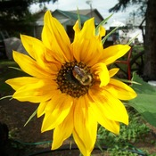 sunflower loving bee