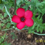 Scarlet Flax blossom