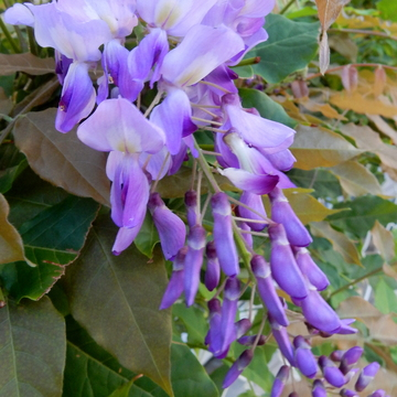 Wisteria blooming this morning