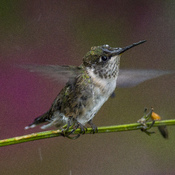 Hummingbird bathing in the rain