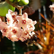 Bee on Wax Plant