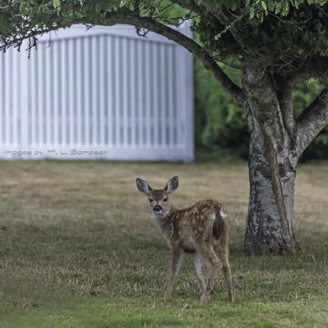 Fawn eating Apples