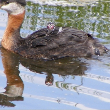 Baby Grebe Poses for the Camera