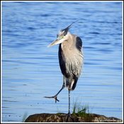 This Great Blue Heron won the staring contest!