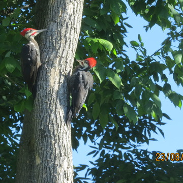 cute pair of Pileated woodpeckers