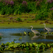 Three Great blue Herons and a Wood Duck