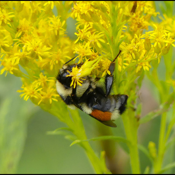 Upside down bee, Elliot Lake.