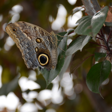 Giant owl eyes butterfly