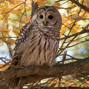 Sweet Barred Owl