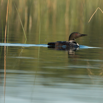 Loons know where to find the fish!