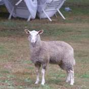 Sheep in my back Yard
