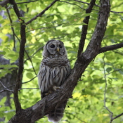 A beautiful Barred Owl
