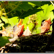Yellow Warbler and 5 little ones