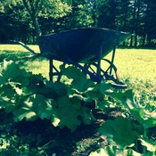 WheelBarrow and rhubarb