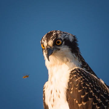 Hornet & Osprey, Eye-to-Eye