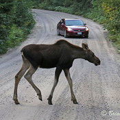 Caution: Moose crossing