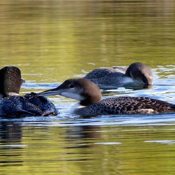 LOON FAMILY TRIAD!!!