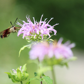 Humming Bird Clearwing Moth