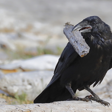 RAVEN the trickster