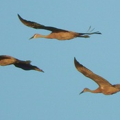 Sandhill's in Flight