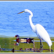 Egret and Wood Duck