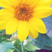 Growing sunflower