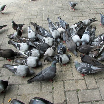 THE PIGEONS ARE EATING MY SESAME