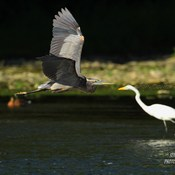 Grand héron vs aigrette