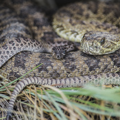 Rattlesnake mom and babies